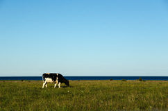 Cow in a peaceful pasture land Stock Image