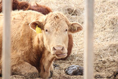 Cow in Pen Stock Images