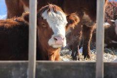 Cow in Pen Stock Photo