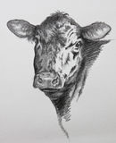Cow pencil drawing. Pencil drawing of black Angus beef cow Royalty Free Stock Image
