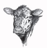 Cow pencil drawing. Pencil drawing of black Angus beef cow royalty free illustration