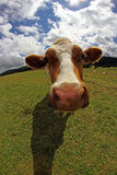 Cow photographed with fish eye lens and blue sky with many cloud Stock Image
