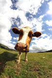 Cow photographed with fish eye lens Royalty Free Stock Image