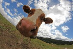 Cow photographed with a fisheye lens in mountain Stock Photos