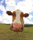 Cow photographed with a fisheye lens in mountain Royalty Free Stock Photos