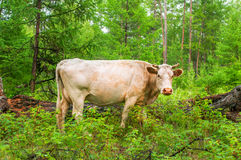 Cow  in pine forest. Cow pasturing in the pine forest Stock Photo