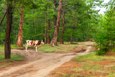 Cow  in pine forest. Cow  pasturing in the pine forest Royalty Free Stock Photo