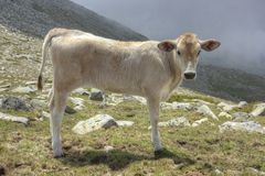 Cow in Pirin 2 royalty free stock image