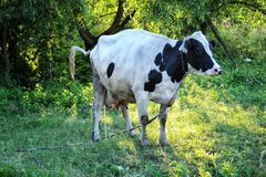 Cow pissis among the trees Royalty Free Stock Photography