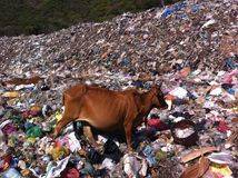 Cow in plastics polluted area Stock Photos