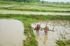 Cow for plowing on paddy field located in Bago, Myanmar Royalty Free Stock Photos
