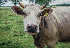 Cow in Poland Royalty Free Stock Photo