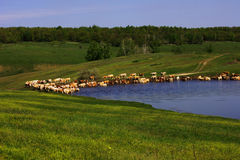 The cow pond. A herd of cows grazing in a green meadow in the valley near a pond in summer Stock Images