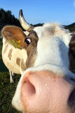 Cow Portrait Stock Photos
