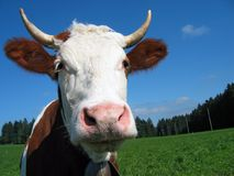 Cow portrait. Head of a white brown cow Stock Photography