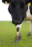 Cow portrait Stock Images