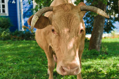 Cow portrait. Cow near to home, Moscow region, Russia, Europe stock photo