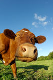 Cow portrait Royalty Free Stock Images