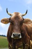 Cow portrait. Close up of a brown cow face Royalty Free Stock Image