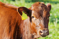 Cow portrait Stock Photography