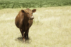 Cow portrait Stock Photos