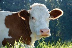 Cow portrait Stock Images