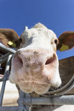 Cow portrait against blue sky Royalty Free Stock Photography