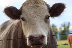 Cow portrait behind the fence. A portrait of a cow behind a fence on the grazing land Royalty Free Stock Images
