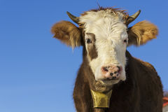 Cow portrait with bell Royalty Free Stock Photo