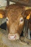 Cow portrait. Portrait of brown cow's head Stock Photo