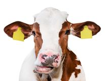 Cow portrait close up isolated on white. Funny cute red and white spotted cow head isolated on white. Farm animals.  royalty free stock image