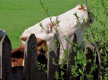 Cow. Portrait of a cow eating some leaves on the tree behind the fence Royalty Free Stock Photos