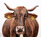 Cow portrait Royalty Free Stock Photos