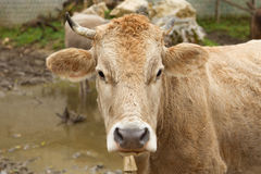 Cow. Portrait of a cow looking in a camera Stock Image