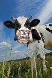 Cow portrait in the meadow in blue sky background royalty free stock photo