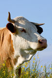 Cow. A portrait of a cow in nature stock image