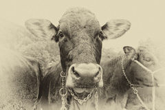 Cow portrait old style sepia Royalty Free Stock Photo