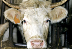 Cow portrait. Portrait of white cow's head Royalty Free Stock Photography