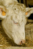 Cow portrait. Portrait of white cow's head Royalty Free Stock Photos