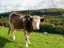 Cow Posing For The Camera Stock Photo