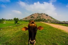 Cow posing at Gingee Fort in South India royalty free stock images