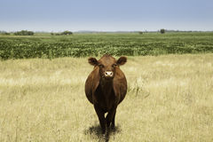Cow in prairie Stock Images
