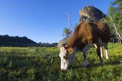 Cow Stock Image