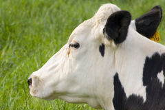 Cow Profile. A profile view of a cow laying in the grass Royalty Free Stock Photos