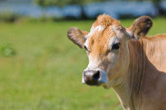 Cow protrait Royalty Free Stock Image