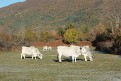 Cow in Pyrenees Royalty Free Stock Image