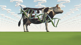 Cow and questions clouds. GMO Stock Image