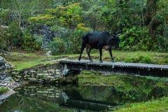 A cow quietly crosses a bridge over a stream. Common scenery in the interior stock image