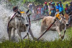 Cow race royalty free stock photography