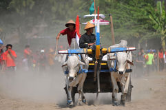 Cow race in Yogyakarta, Indonesia Stock Photos